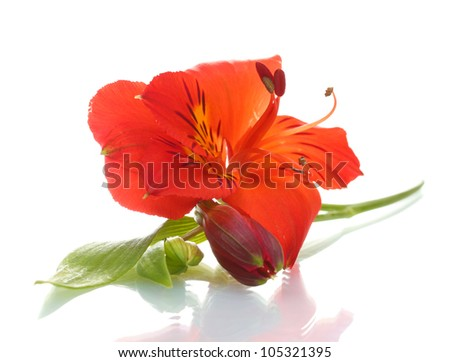 alstroemeria red flower  isolated on white