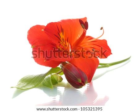 alstroemeria red flower  isolated on white