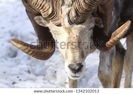Altai argali close-up portrait (Ovis ammon ammon) #1342102013