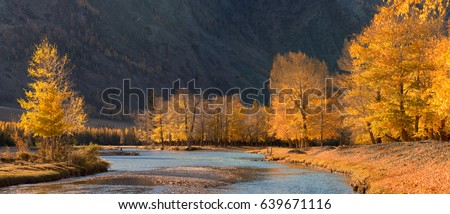 Altai Mountains, Russia. Autumn mountain landscape with river, sunlit poplars and a blue river. Autumn forest with fallen leaves & trees against the background of mountains. Bright autumn landscape #639671116