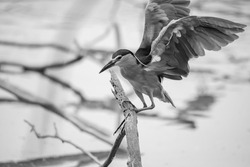 Although herons resemble birds in some other families, such as the storks, ibises, spoonbills, and cranes, they differ from these in flying with their necks retracted, not outstretched.