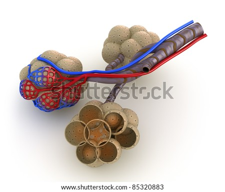 Alveoli in lungs - blood saturating by oxygen. isolated