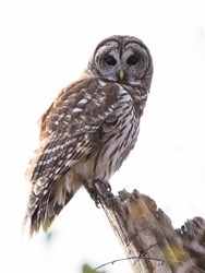 Always a good day, when I come across an Owl on the hunt for food.