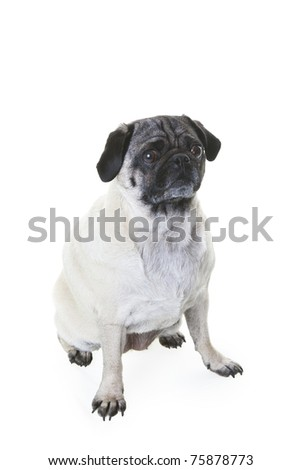 Am adorable Pug dog sitting on a white background. Slight drop shadow.