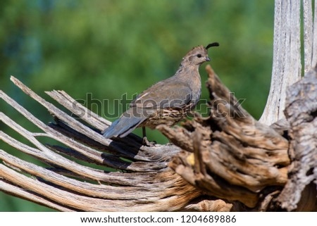 Amado, Arizona, United States - August 29, 2014,  Friday: Female Gambel's Quail on a perch at Elephant Head. #1204689886