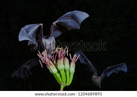 Amado, Arizona, United States - August 29, 2014,  Friday: Greater long-nosed bat feeding on a Agave flower at Elephant Head. #1204689895