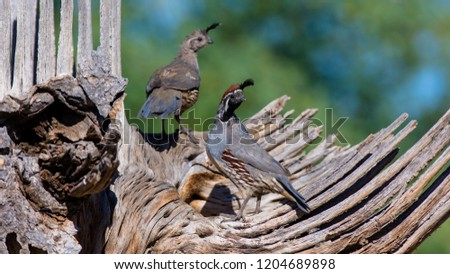 Amado, Arizona, United States - August 29, 2014,  Friday: Male Gambel's Quail on a perch at Elephant Head. #1204689898