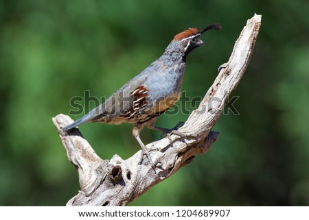 Amado, Arizona, United States - August 29, 2014,  Friday: Male Gambel's Quail on a perch at Elephant Head. #1204689907