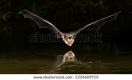 Amado, Arizona, United States - August 28, 2014,  Thursday: Pallid bat flies over a pond to drink water at Elephant Head. #1204689910