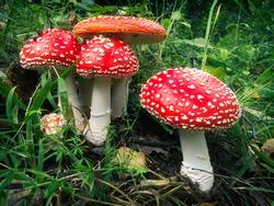 Amanita mascara mushrooms different size