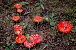 Amanita muscaria, commonly known as the fly agaric or fly amanita, is a basidiomycete of the genus Amanita. Group of Red toadstool mushrooms in the natural forest background surrounded by green moss