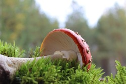 Amanita muscaria, commonly known as the fly agaric or fly amanita. Toxic and hallucinogen mushroom Fly Agaric in grass on autumn forest background. Macro close up in natural environment.