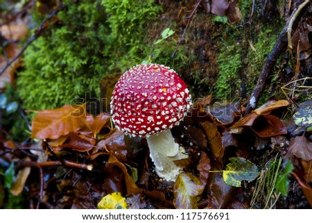 Amanita muscaria mushroom at the forest, Portugal