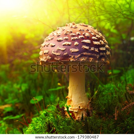 Amanita muscaria mushroom on green moss closeup