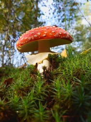 amanita muscaria poisonous mushroom in the grass. Fly Agaric Fungi on Forest floor. Toxic mushroom.