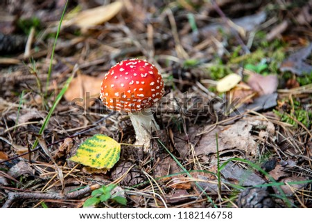 Amanita muscaria toadstool mushroom in a forest