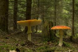 Amanita muscaria, two mushrooms, red fungus