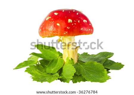 amanita mushroom on the grass isolated on white