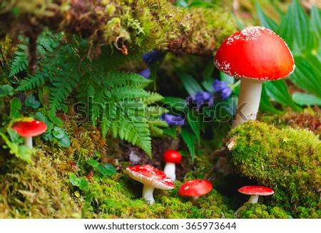 Amanita mushrooms in forest.