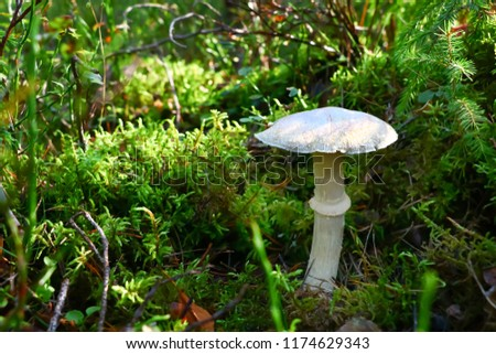 Amanita phalloides, mushroom in the forest in autumn