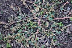 Amaranthus blitoides prostrate pigweed closeup