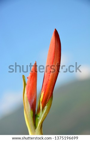 Amarilis is a red flower in the bud #1375196699