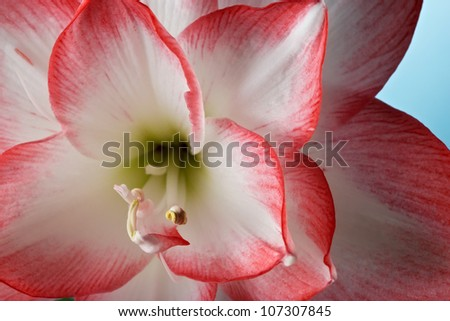 Amaryllis belladonna. Closeup view.
