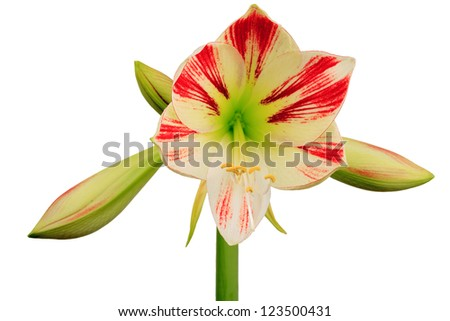 Amaryllis (Hippeastrum) isolated on white