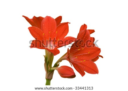 amaryllis isolated