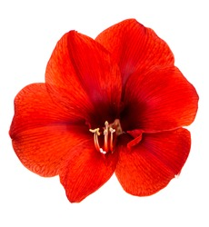 Amaryllis. red flower with clipping path isolated on white background