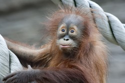 Amazed young orangutan.