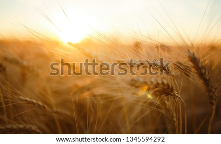 Amazing agriculture sunset landscape.Growth nature harvest. Wheat field natural product. Ears of golden wheat close up. Rural scene under sunlight. Summer background of ripening ears of landscape.