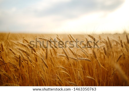 Amazing agriculture sunset landscape.Growth nature harvest. Wheat field natural product. Ears of golden wheat close up. Rural scene under sunlight. Summer background of ripening ears of landscape. #1463350763