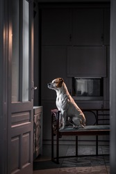 Amazing Amstaff dog waiting patiently on a bench in the kitchen looking outside the window -  beautiful light