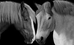 Amazing And Beautiful Couple Horse Together