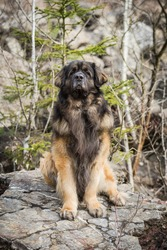amazing and majestic leonberger posing in a quarry