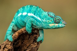 Amazing and rare colored chameleon calmly sitting on a branch. And exotic, interesting and curiously looking animal.