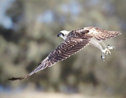 Amazing Australian Osprey in Perth