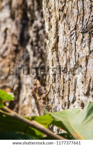 Amazing Bell's forest dragon lizard (Gonocephalus bellii or Calotes mystaceus) is change its skin color from greenish-grey to brown with deep brown stripes to camouflage with the tree bark background. #1177377661