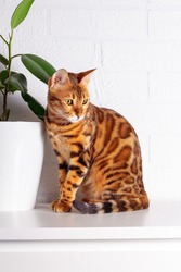 Amazing Bengal cat in home jungle. Spotted cat. Cat sniffing. Close-up. White brick wall background. Large leaves of tropical plant at home. Ficus.