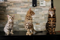 Amazing bengal cats in living room