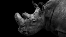 Amazing Big Horned Black And White Rhino Face