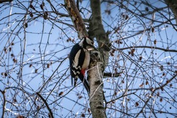 amazing bird spotted woodpecker on tree branch