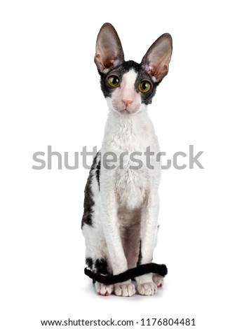 Amazing black bicolor Cornish Rex cat kitten girl sitting facing front with tail curled around body, looking curious straight in camera isolated on a white background