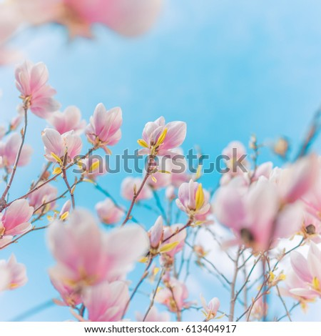 Amazing blooming nature background. Closeup of magnolia flowers with peaceful blue sky and blurred background