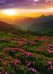 amazing blooming pink summer flowers, vertical picturesque morning scenery with meadow of blossom rhododendrons on background stunning sunrise, Europe, border Ukraine - Romania, Marmarosy, Carpathians