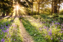 Amazing bluebell forest with dawn sunrise bursting through the trees. Woodland path and purple wild plants. Spring landscape in England