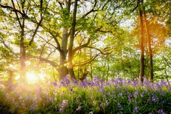 Amazing bluebell forest with sunrise bursting through the trees, Fresh natural landscape with spring flowers under the woodland trees. Located in Norfolkk UK