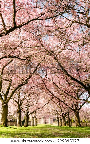 Amazing bright colorful spring landscape for wallpaper. Majestically blossoming large cherry sakura trees in a wonderful landscape garden on a green lawn, pastel colors with dreamy feel  #1299395077