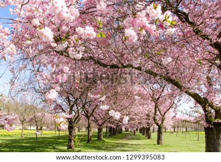 Amazing bright colorful spring landscape for wallpaper. Majestically blossoming large cherry sakura trees in a wonderful landscape garden on a green lawn, pastel colors with dreamy feel  #1299395083